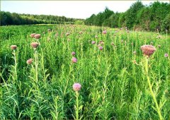 Левзея - цветение в поле