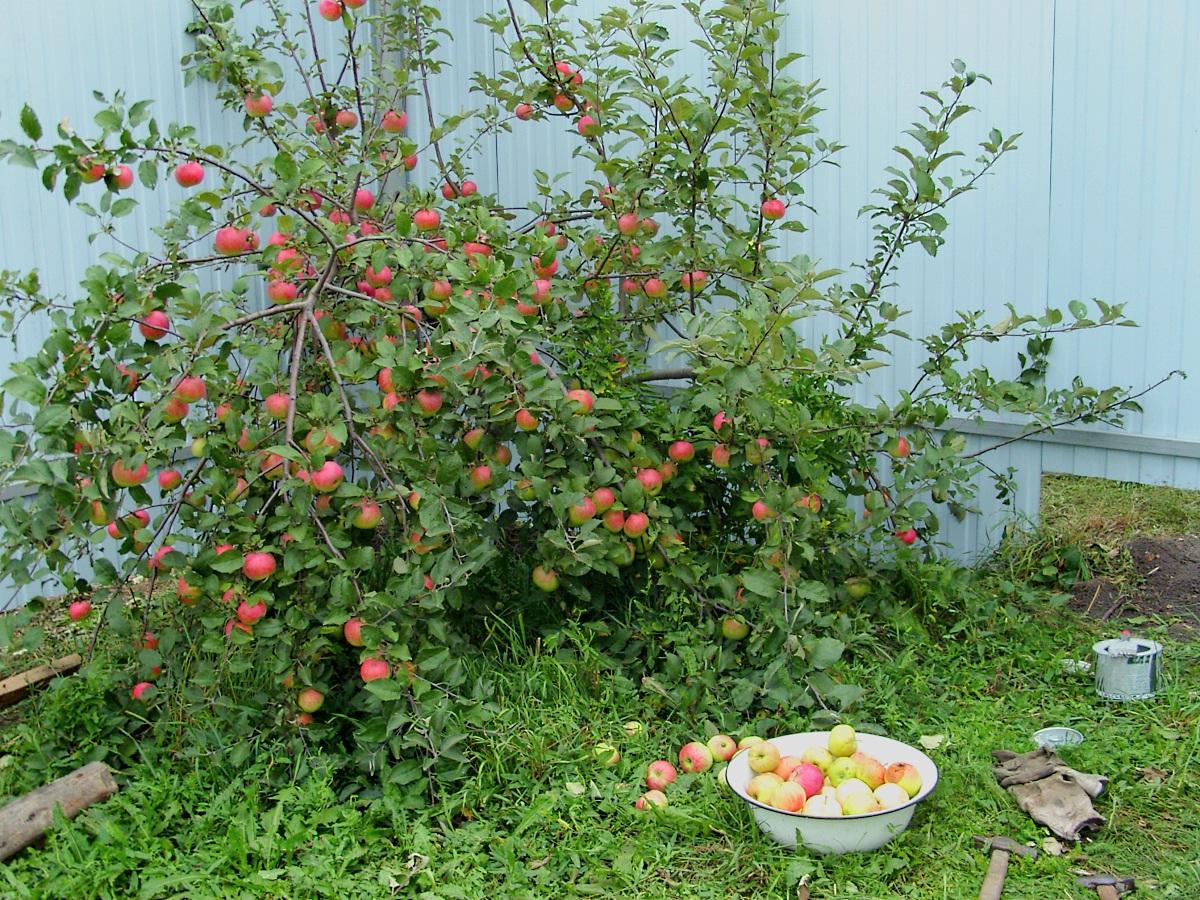 Яблоня 2 метра