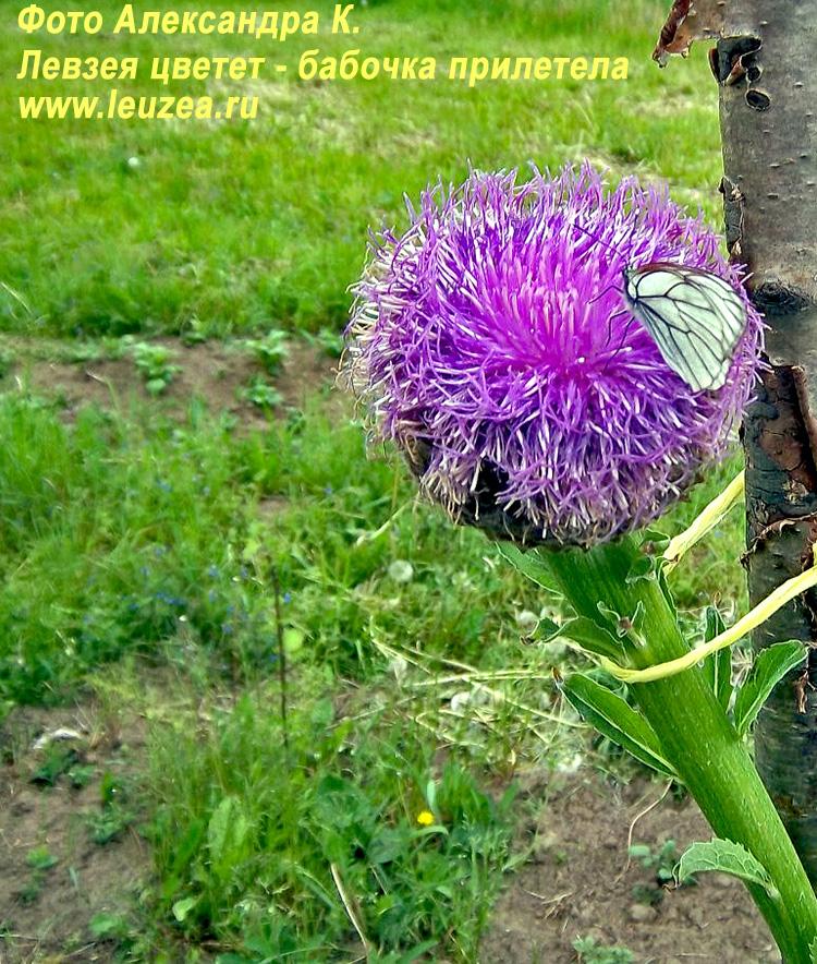 Цветет левзея - бабочка прилетела
