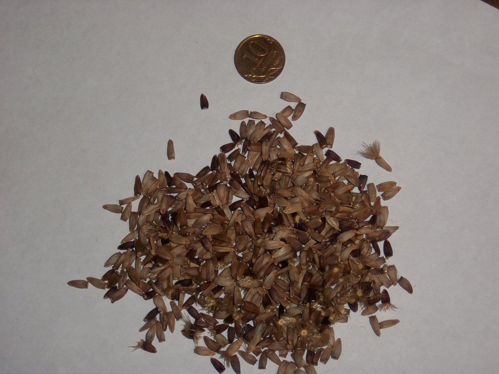 Семена левзеи