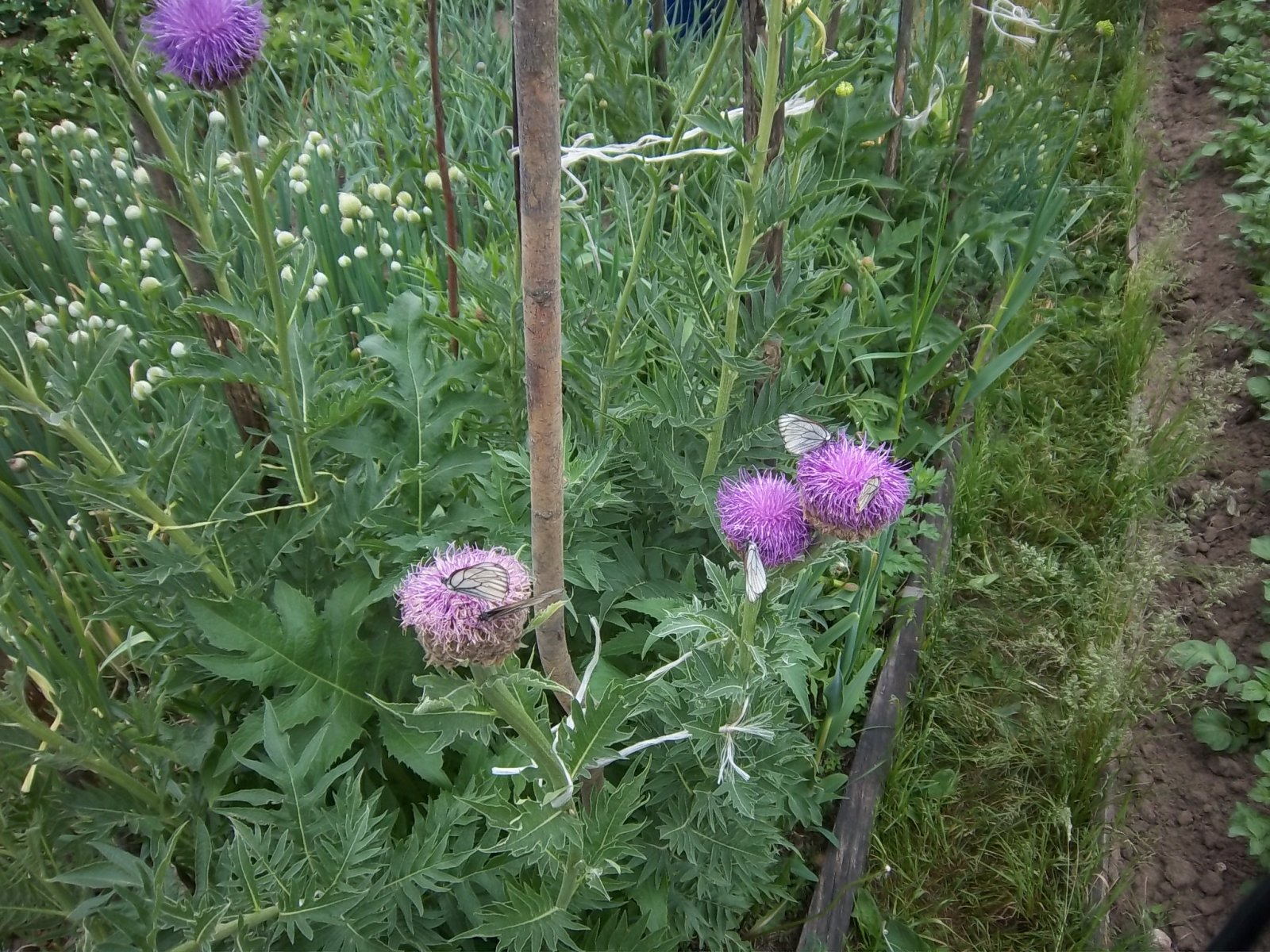 Цветет левзея - нашествие бабочек