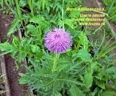 Цветет левзея - пчела прилетела
