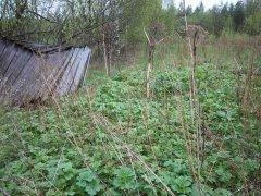 Начало отрастния борщевика, заброшенный дачный участок. Архангельская область