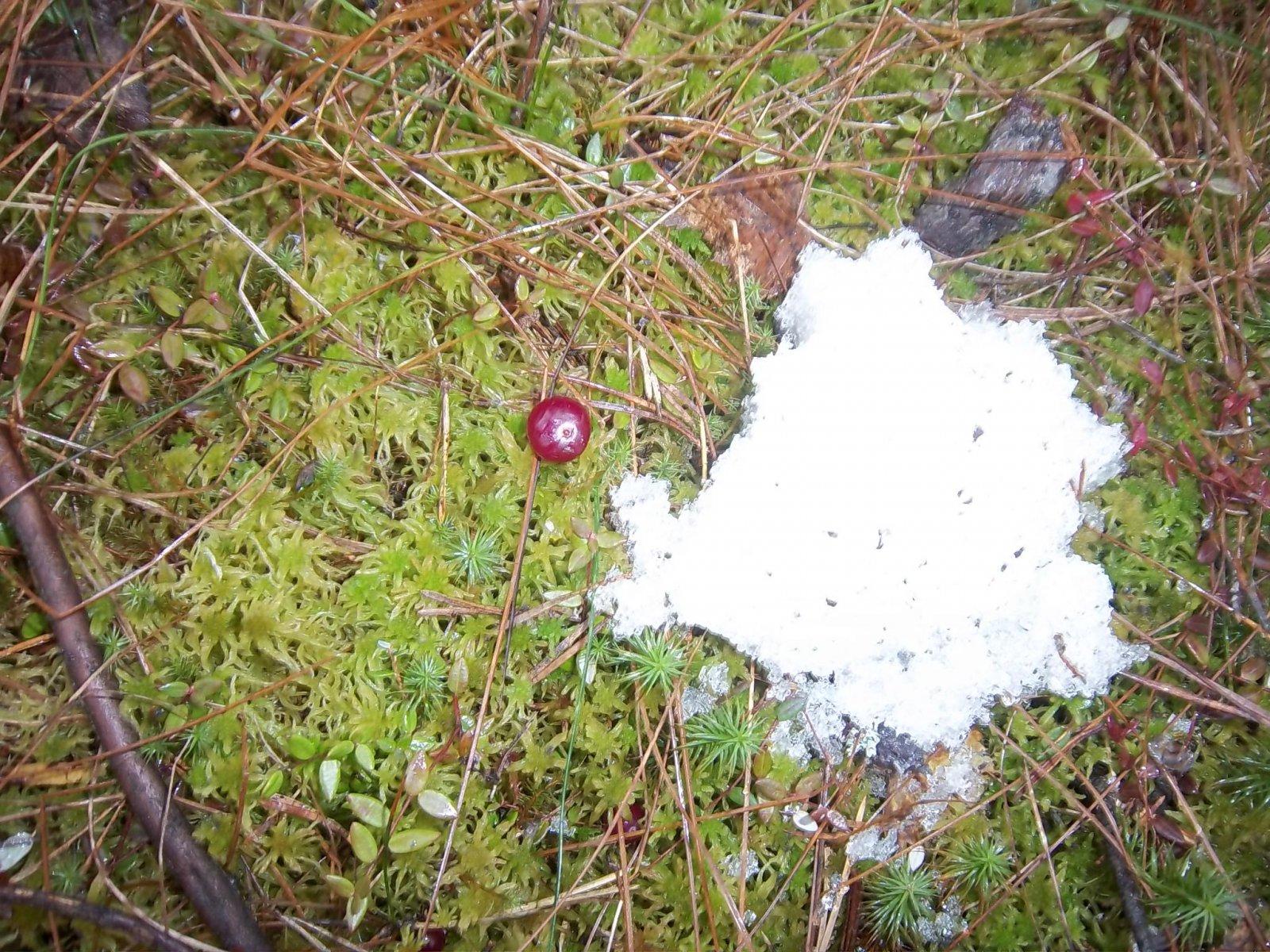 Клюква весной на болоте