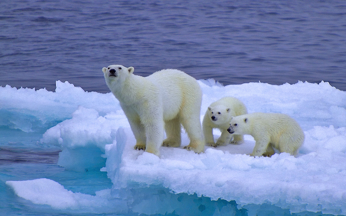Медведи белые