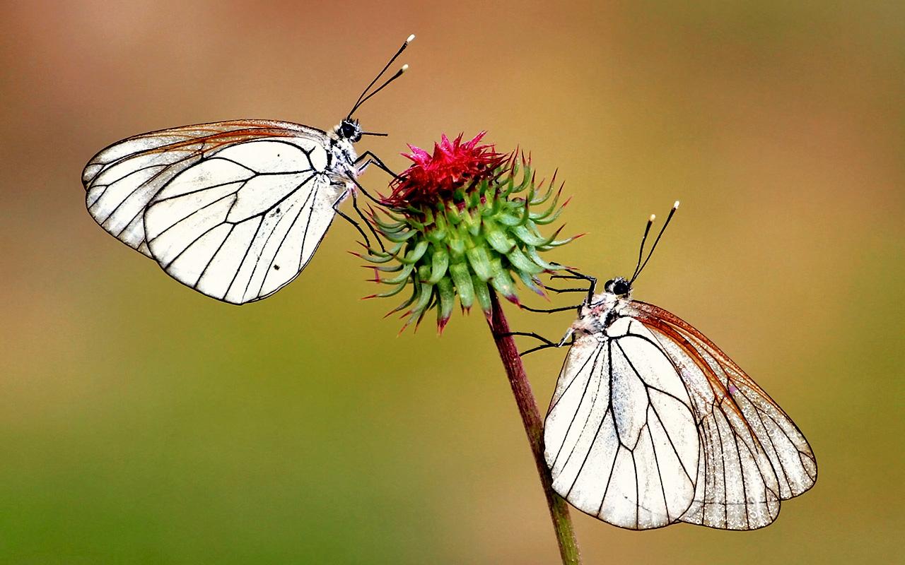 Бабочки за нектаром