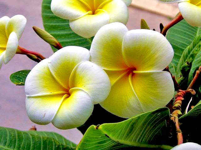 Цветы белоснежки