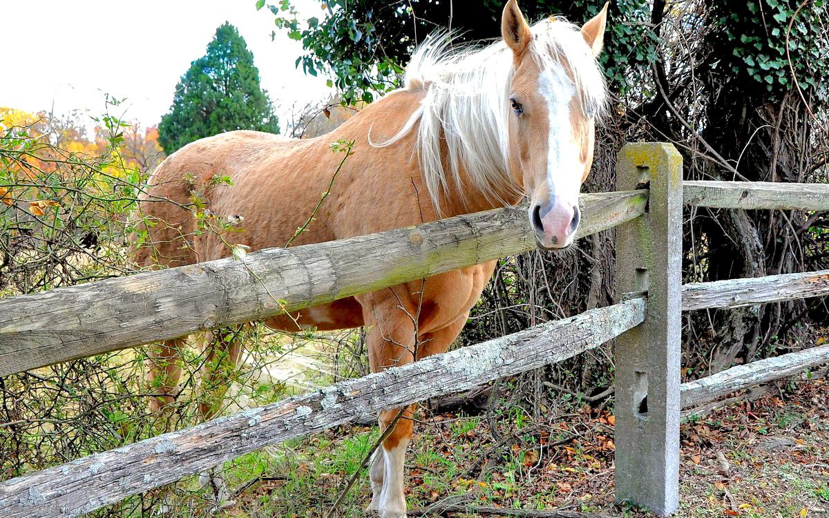 Белогривый конь