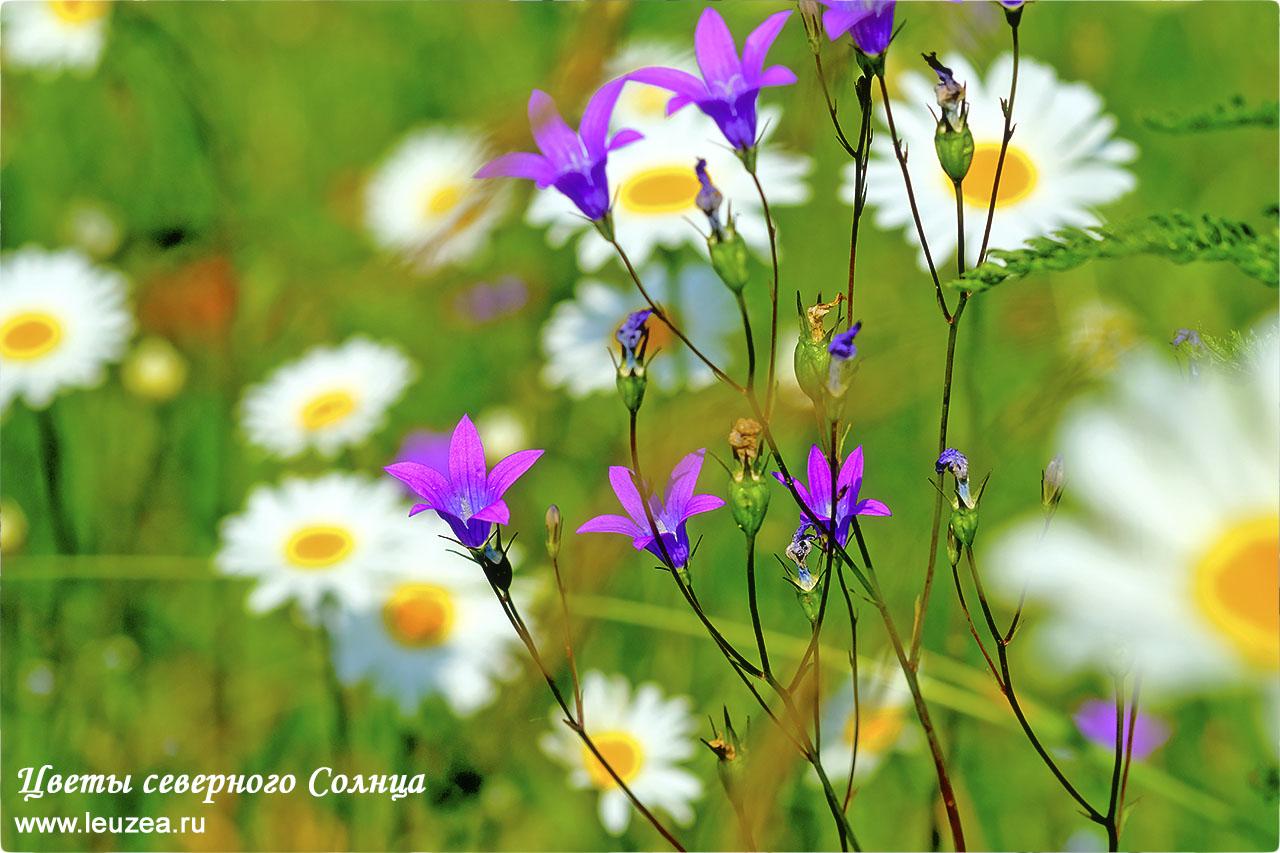 Цветы Солнца