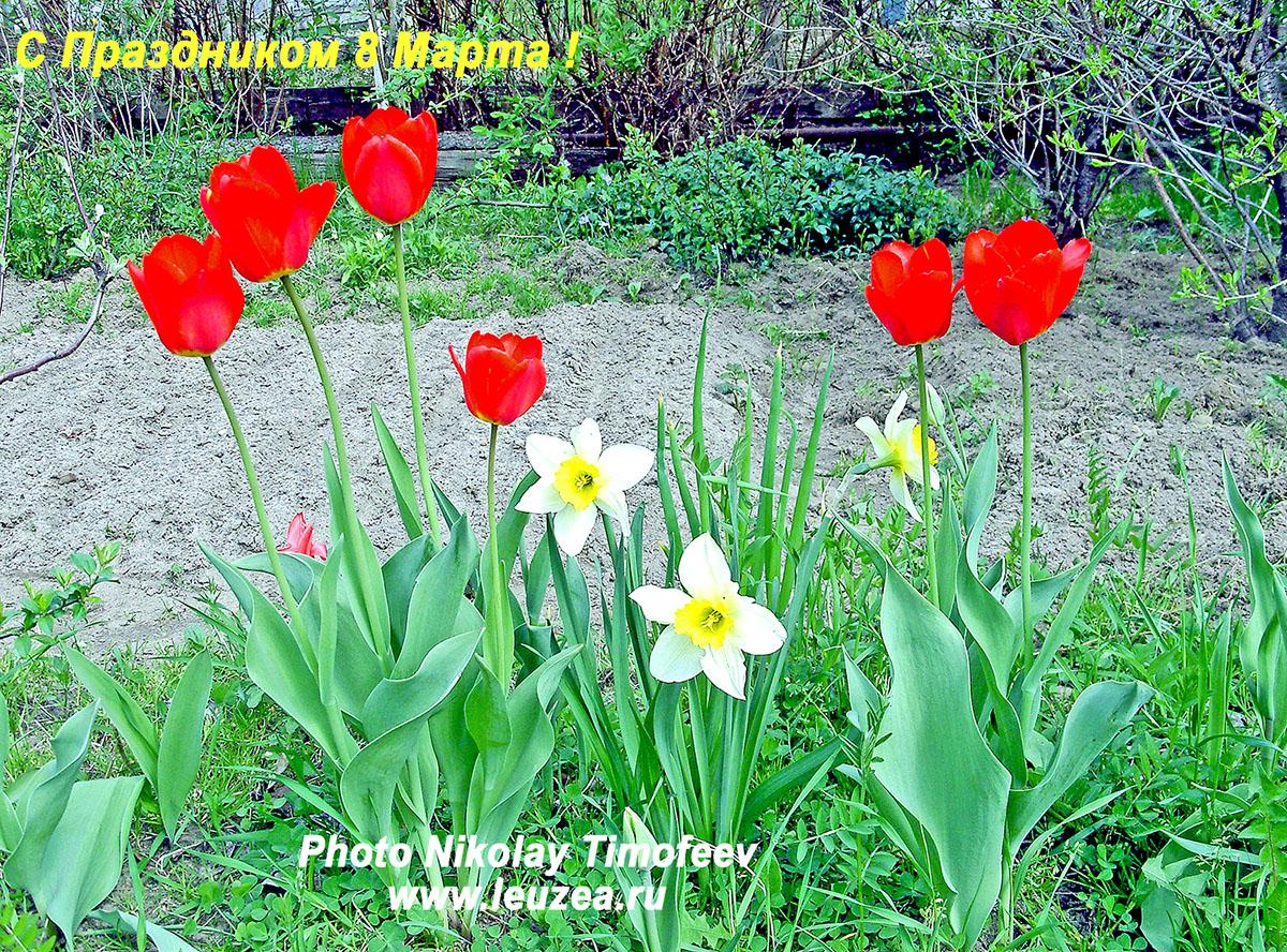 WEB тюльпаны