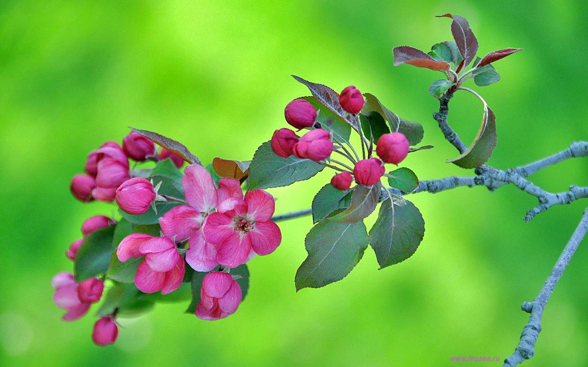 Веточка розоцветных