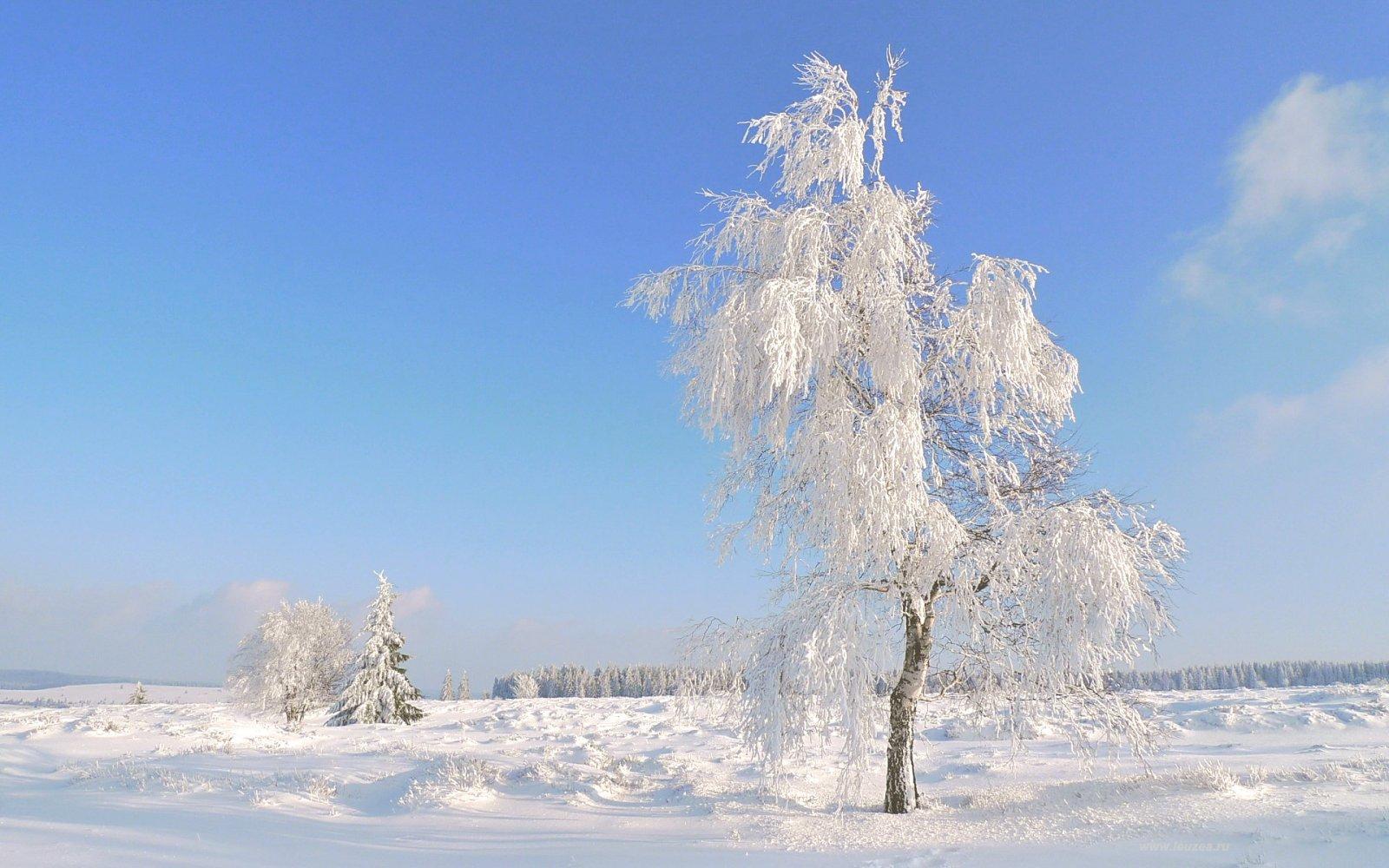 Снежная береза