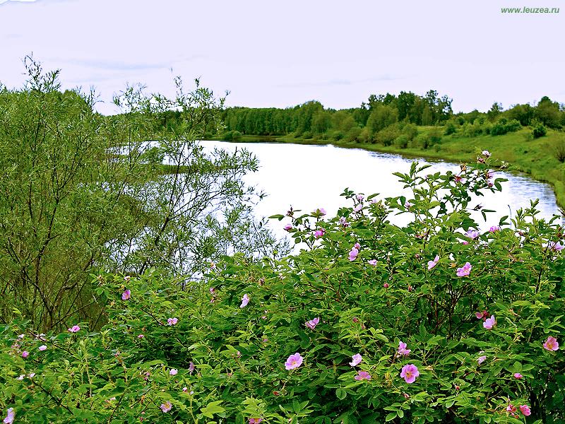 Шиповник у озера