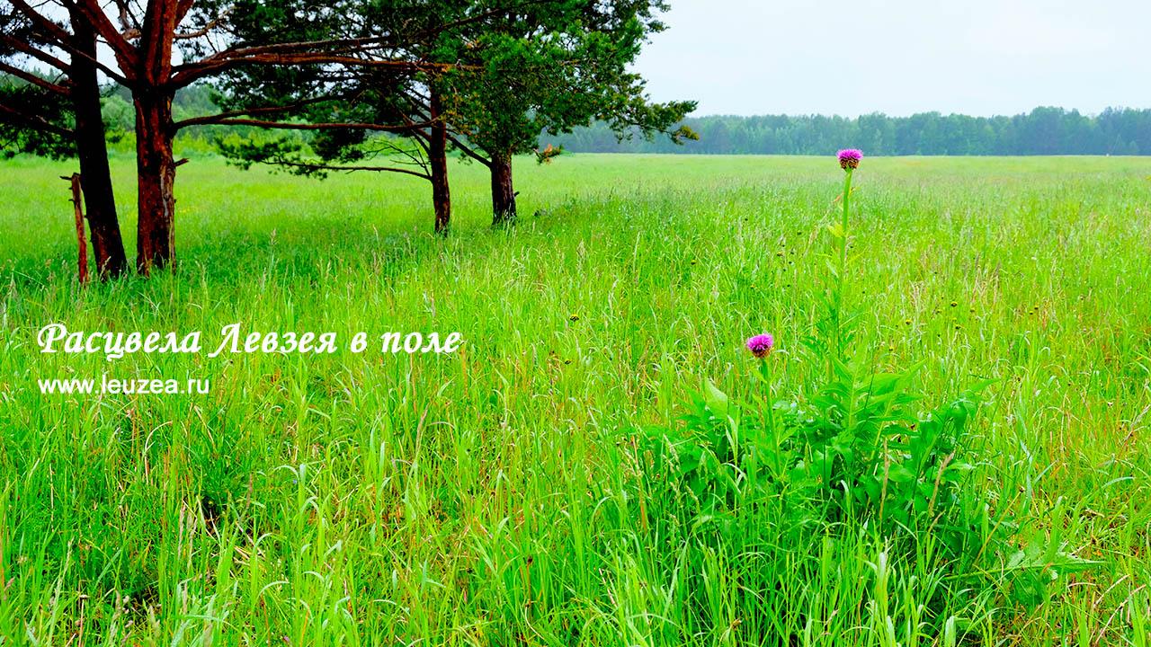 Левзея цветет