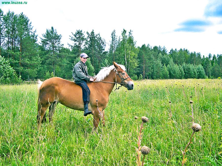 Левзею лошадям