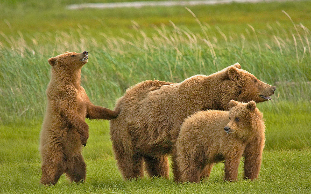 Медведи бурые