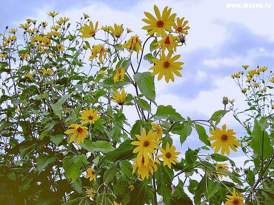 Топинамбур соцветия