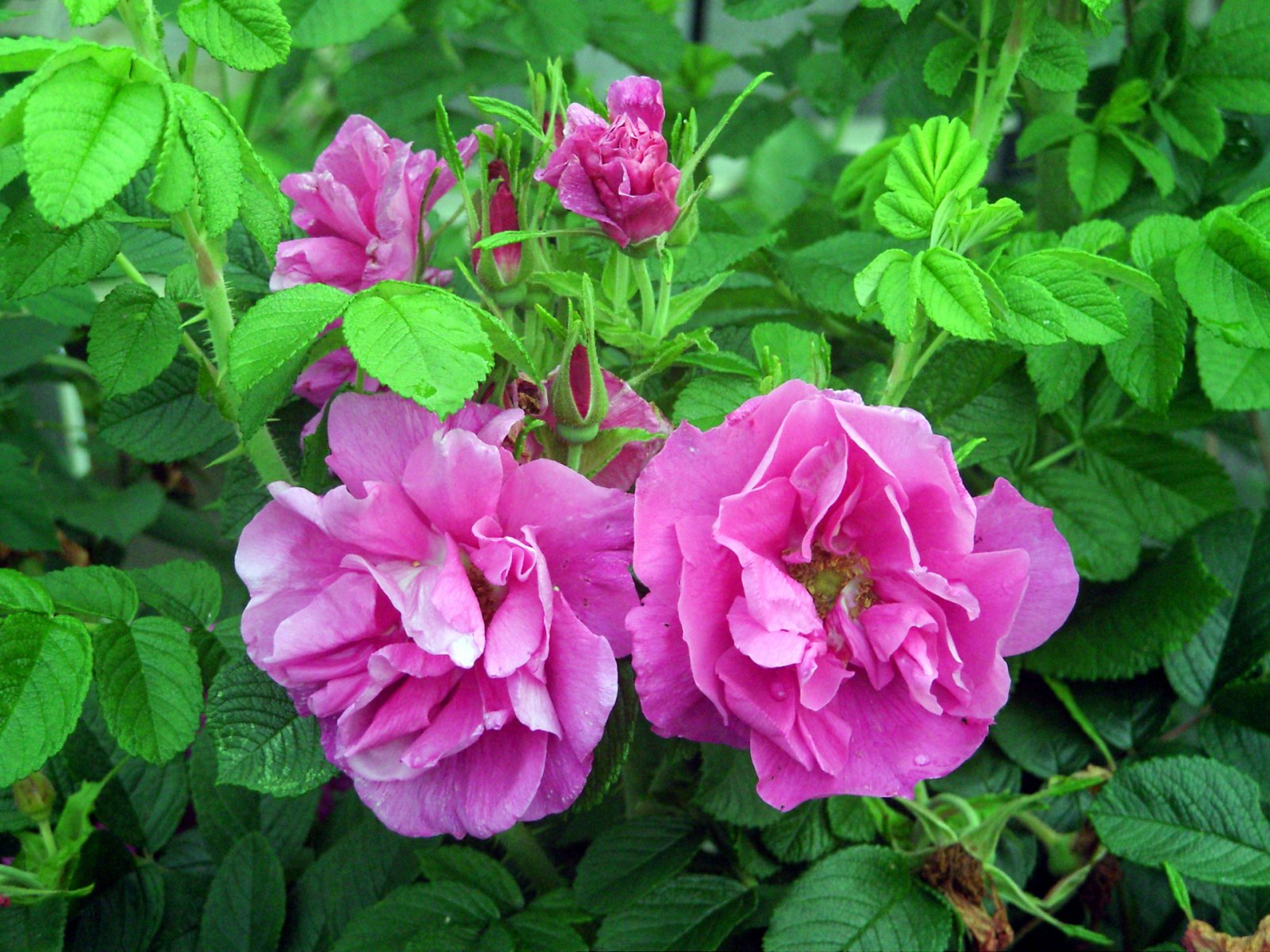 Роза красавица, привитая на шиповнике