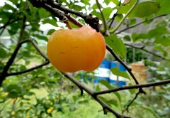 Яблочко райское