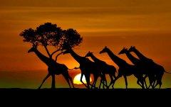 Зебры на закате