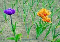 Тюльпаны черные или синие