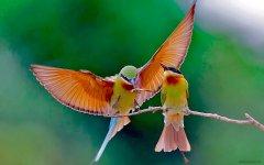 Птички райские