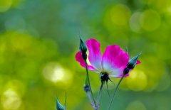 Цветы бутон