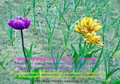 Тюльпаны желтые в День Счастья человека