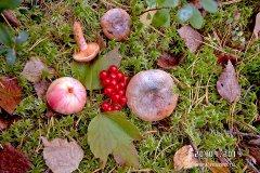 #Рыжики с калиной