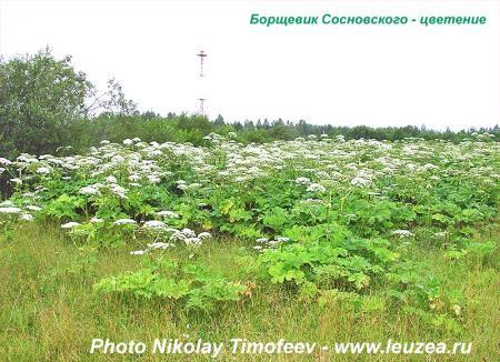 Борщевик_цветение_2.jpg