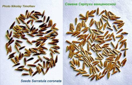 seeds_serratula.jpg