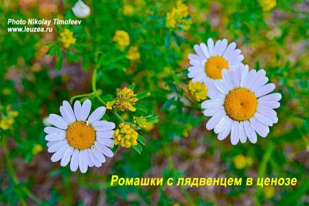 Ромашки-2013-1.jpg