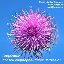 Соцветие левзеи-1.jpg
