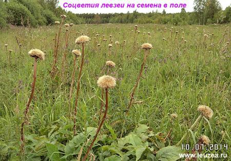 01-Соцветия левзеи в поле.JPG
