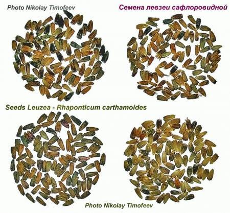 seeds_leuzea.jpg