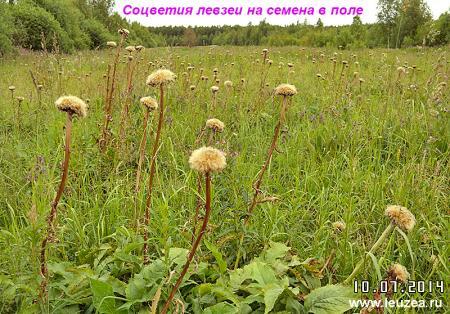 leuzea_seeds-1.jpg